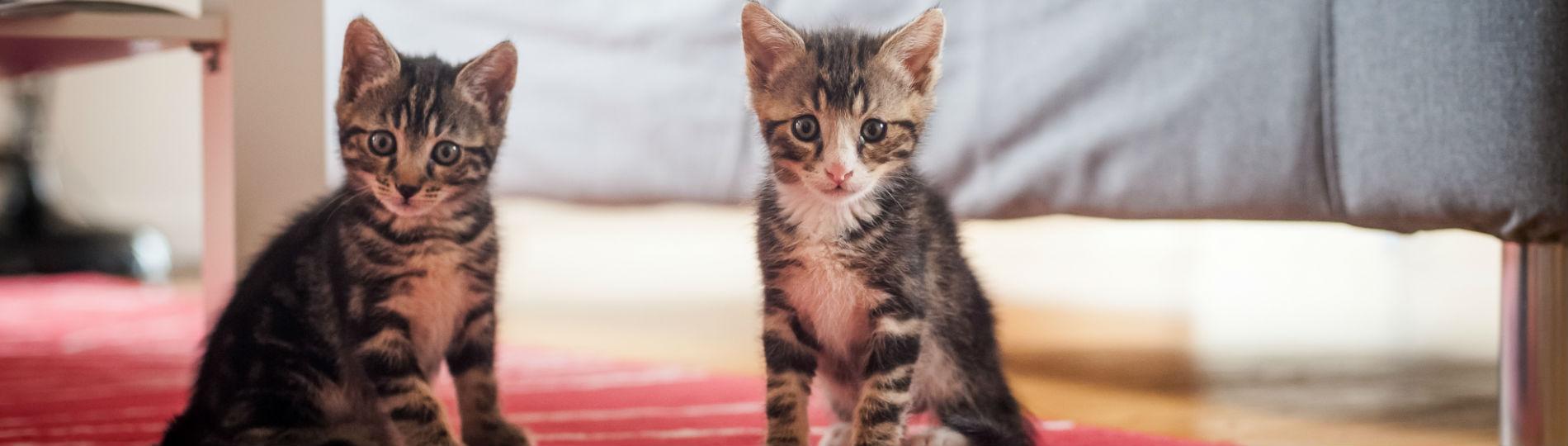 Pet Communications Felines