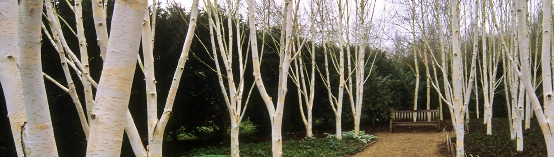 White bark plant aging process
