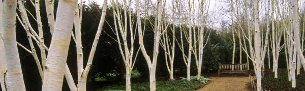 White bark plant aging process