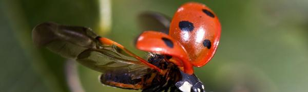 A ladybug lifts its wings, about to take off.